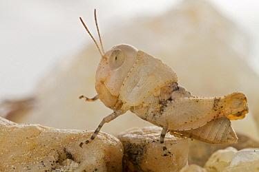 Grasshopper camouflaged on pebbles, Gorongosa National Park, Mozambique  -  Piotr Naskrecki