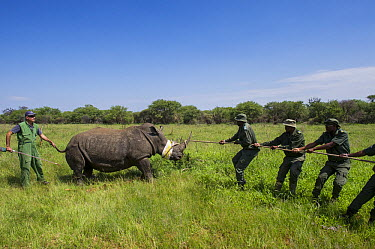 White Rhinoceros (Ceratotherium simum) being loaded for relocation to new reserve, South Africa  -  Pete Oxford