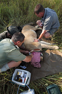 African Lion (Panthera leo) darted for veterinary work, Marakele National Park, Limpopo, South Africa  -  Pete Oxford