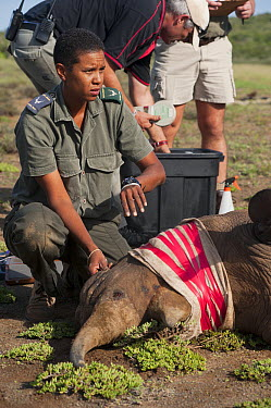 Black Rhinoceros (Diceros bicornis) sedated for transportation with veterinarian Kathy Dreyer, Great Fish River Nature Reserve, Eastern Cape, South Africa  -  Pete Oxford