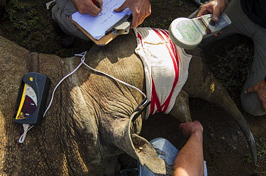 Black Rhinoceros (Diceros bicornis) sedated for transportation, Great Fish River Nature Reserve, Eastern Cape, South Africa  -  Pete Oxford