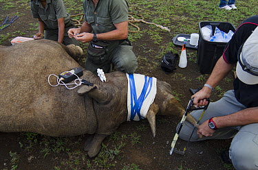 Black Rhinoceros (Diceros bicornis) sedated for transportation with veterinarian Gavin Shaw removing horn tip, Great Fish River Nature Reserve, Eastern Cape, South Africa  -  Pete Oxford