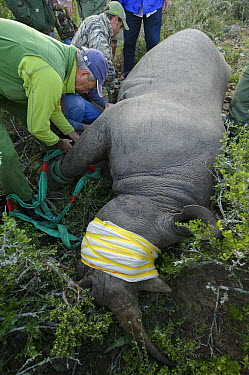 Black Rhinoceros (Diceros bicornis) sedated for transportation with veterinarian Kester Vickory, Great Fish River Nature Reserve, Eastern Cape, South Africa  -  Pete Oxford