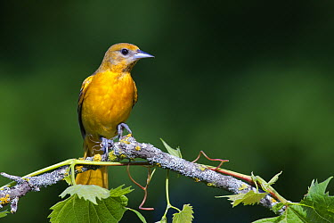 Baltimore Oriole (Icterus galbula) sub-adult male, La Crosse, Wisconsin  -  Donald M. Jones