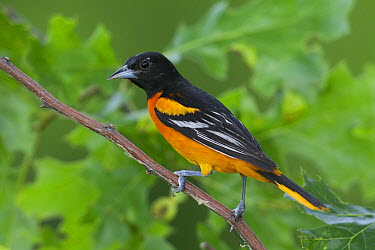 Baltimore Oriole (Icterus galbula) male, La Crosse, Wisconsin  -  Donald M. Jones