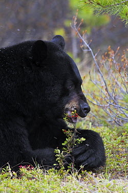 Black Bear (Ursus americanus) eating berries, Jasper National Park, Alberta, Canada  -  Donald M. Jones
