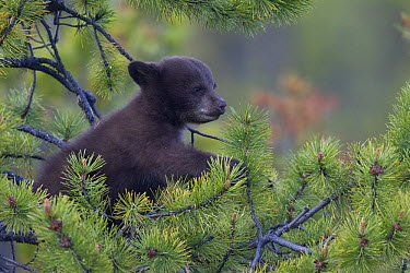 Black Bear (Ursus americanus) cub in pine tree, Jasper National Park, Alberta, Canada  -  Donald M. Jones