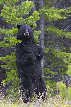 Black Bear (Ursus americanus) rubbing back on pine, Jasper National Park, Alberta, Canada  -  Donald M. Jones