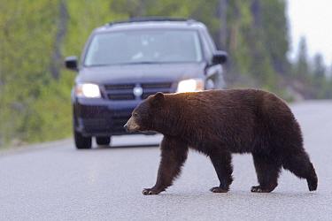 Black Bear (Ursus americanus) crossing road in front of van, Jasper National Park, Alberta, Canada  -  Donald M. Jones