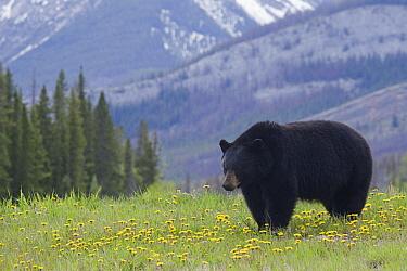 Black Bear (Ursus americanus) in a field of Dandelions (Taraxacum officinale), Jasper National Park, Alberta, Canada  -  Donald M. Jones
