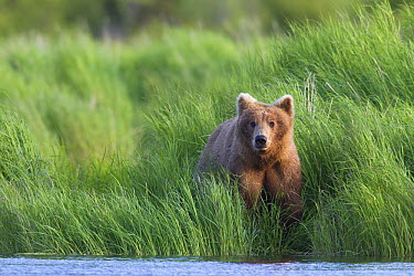 Grizzly Bear (Ursus arctos horribilis) in grasses, Brooks Falls, Alaska  -  Donald M. Jones