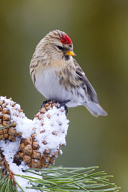 Common Redpoll (Carduelis flammea) female on pine cone, Troy, Montana  -  Donald M. Jones