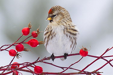 Common Redpoll (Carduelis flammea) female among berries, Troy, Montana  -  Donald M. Jones