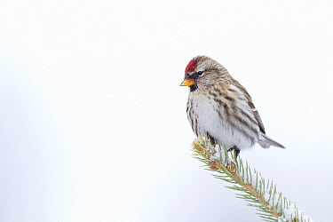 Common Redpoll (Carduelis flammea) female, Troy, Montana  -  Donald M. Jones