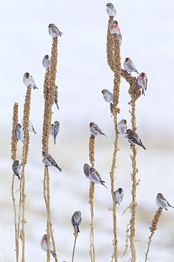 Common Redpoll (Carduelis flammea) flock in winter, Troy, Montana  -  Donald M. Jones
