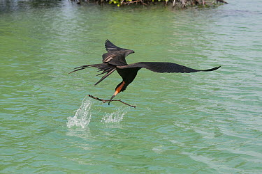 Magnificent Frigatebird (Fregata magnificens) picking up nesting material in mid-flight, Sian Ka'an Biosphere Reserve, Mexico  -  Donald M. Jones
