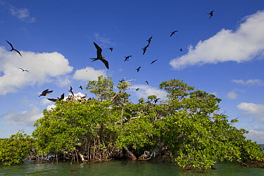 Magnificent Frigatebird (Fregata magnificens) flock flying, Sian Ka'an Biosphere Reserve, Mexico  -  Donald M. Jones