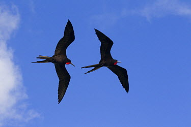 Magnificent Frigatebird (Fregata magnificens) pair flying, Sian Ka'an Biosphere Reserve, Mexico  -  Donald M. Jones