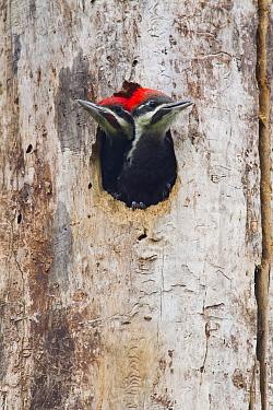 Pileated Woodpecker (Dryocopus pileatus) chicks in nest cavity, Troy, Montana  -  Donald M. Jones