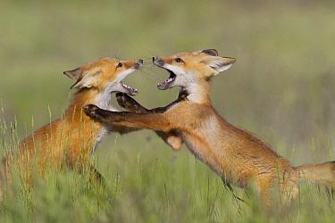 Red Fox (Vulpes vulpes) kits playing, Missoula, Montana  -  Donald M. Jones