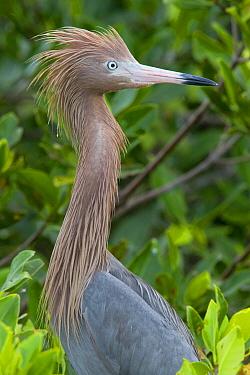 Reddish Egret (Egretta rufescens) dark morph, Sian Ka'an Biosphere Reserve, Mexico  -  Donald M. Jones