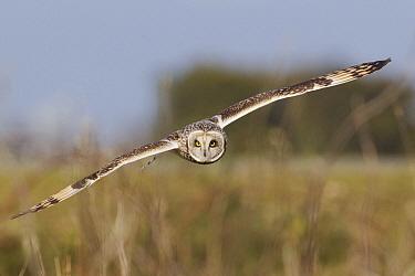 Short-eared Owl (Asio flammeus) flying, Ronan, Montana  -  Donald M. Jones