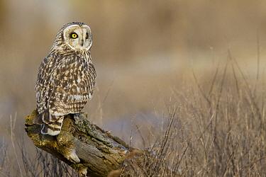 Short-eared Owl (Asio flammeus), Ronan, Montana  -  Donald M. Jones