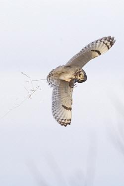 Short-eared Owl (Asio flammeus) flying with vole prey, Ronan, Montana  -  Donald M. Jones