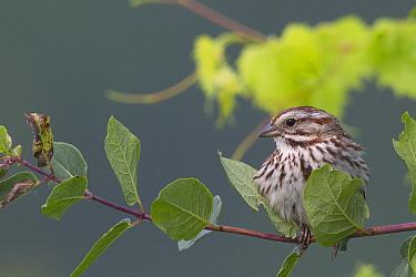 Song Sparrow (Melospiza melodia), La Crosse, Wisconsin  -  Donald M. Jones