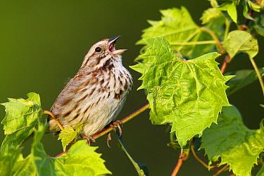 Song Sparrow (Melospiza melodia) calling, La Crosse, Wisconsin  -  Donald M. Jones