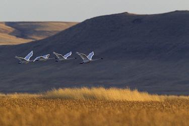Tundra Swan (Cygnus columbianus) group flying, Fairfield, Montana  -  Donald M. Jones