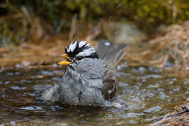 White-crowned Sparrow (Zonotrichia leucophrys) bathing, Troy, Montana  -  Donald M. Jones