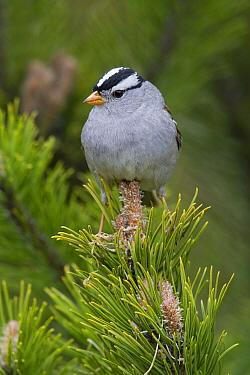 White-crowned Sparrow (Zonotrichia leucophrys), Troy, Montana  -  Donald M. Jones