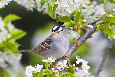 White-crowned Sparrow (Zonotrichia leucophrys) in flowering tree, Troy, Montana  -  Donald M. Jones