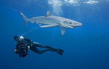 Blue Shark (Prionace glauca) female with diver, Nine Mile Bank, San Diego, California  -  Richard Herrmann