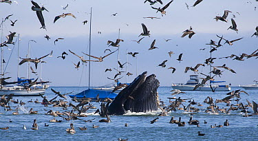 Humpback Whale (Megaptera novaeangliae) and Brown Pelicans (Pelecanus occidentalis) feeding on Northern Anchovies (Engraulis mordax), Avila Bay, California  -  Richard Herrmann