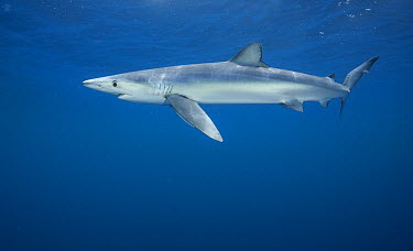 Blue Shark (Prionace glauca) female, Nine Mile Bank, San Diego, California  -  Richard Herrmann