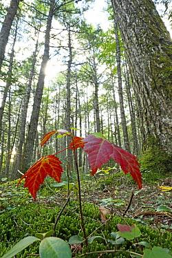 Sugar Maple (Acer saccharum) seedling growing beneath old-growth Canadian Hemlock (Tsuga canadensis), Nova Scotia, Canada  -  Scott Leslie