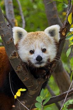Lesser Panda (Ailurus fulgens), native to Asia  -  ZSSD
