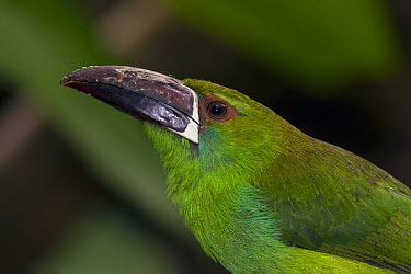 Crimson-rumped Toucanet (Aulacorhynchus haematopygus), native to South America  -  ZSSD