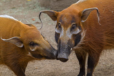 Red River Hog (Potamochoerus porcus) pair, native to Africa  -  ZSSD