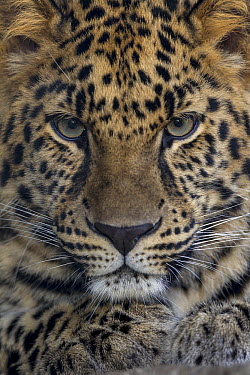 Amur Leopard (Panthera pardus orientalis) sub-adult, native to Russia and China  -  ZSSD