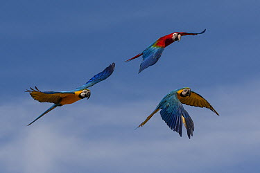 Blue and Yellow Macaw (Ara ararauna) pair and Scarlet Macaw (Ara macao) flying, native to South America  -  ZSSD
