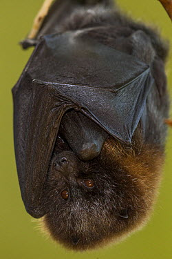 Rodrigues Flying Fox (Pteropus rodricensis) roosting, native to Mauritius  -  ZSSD