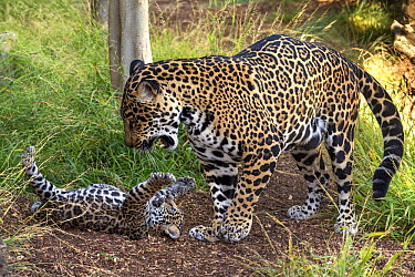 Jaguar (Panthera onca) cub playing with mother, native to Central and South America  -  ZSSD