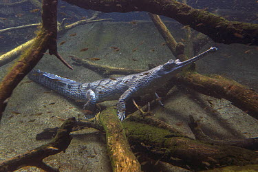 Gharial (Gavialis gangeticus), native to India  -  ZSSD