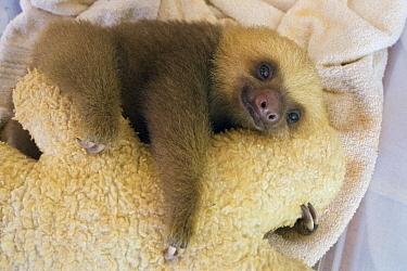 Hoffmann's Two-toed Sloth (Choloepus hoffmanni) orphan clings to its stuffed animal surrogate mother, Aviarios Sloth Sanctuary, Costa Rica  -  Suzi Eszterhas