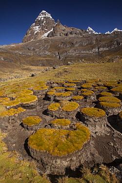 Distichia (Distichia muscoides) cushion plant in dried out swamp area under Carnicero peak, Cordillera Huayhuash, Andes, Peru  -  Colin Monteath/ Hedgehog House