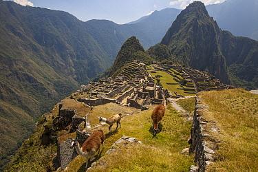 Alpaca (Lama pacos) trio above Machu Picchu near Cuzco, Peru  -  Colin Monteath/ Hedgehog House