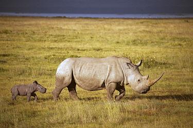 White Rhinoceros (Ceratotherium simum) mother and calf, Lake Nakuru National Park, Kenya  -  D. Parer & E. Parer-Cook